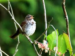 Sparrow by Get Off My Lawn Song Sparrows Escalate Territorial Threats U2013 With