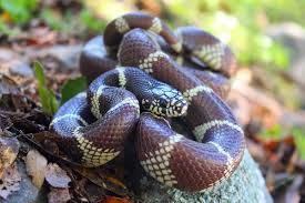california kingsnake wikipedia