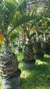 wholesale native plants wholesale plant nursery florida foxtail palm tree wholesale