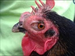 chicken swollen eye youtube