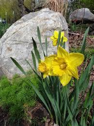 planting daffodil bulbs u2013 reasons why daffodil flowers not coming up