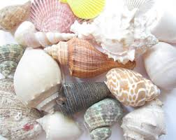 assorted seashells sea shells etsy