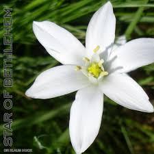 of bethlehem flower 29 of bethlehem free 20ml organic