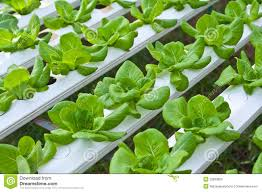Hydroponics Vegetable Gardening by Hydroponics Vegetable Stock Photo Image 23993820