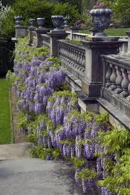 176 best wisteria images on pinterest plants flowers and gardens