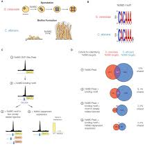 gene regulatory network plasticity predates a switch in function