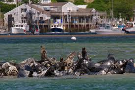 gray seals cape cod nicholas