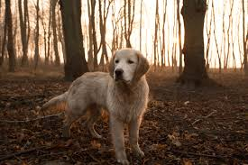 belgian shepherd easy to train 12 easiest dog breeds to train u2013 iheartdogs com