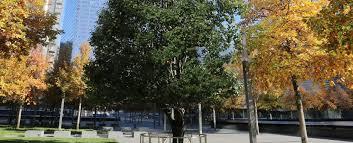 the survivor tree national september 11 memorial museum
