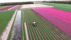 tulip fields near keukenhof the netherlands epic drone footage
