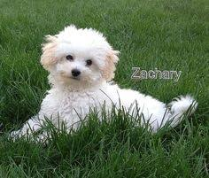 bichon frise whining bichon frise breed info pictures characteristics hypoallergenic