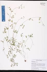 vicia floridana species page isb atlas of florida plants