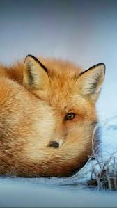 sleeping red fox wallpapers zorro rojo mi animal favorito zoología vertebrados