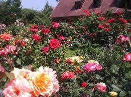 rose flowers garden pictures best idea garden
