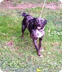australian shepherd virginia 8 best dogs images on pinterest cattle dogs australian cattle