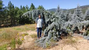 blue spruce spruce koster weeping blue spruce circle d farm sales inc