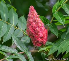 staghorn sumac the web