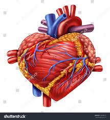 Human Body Anatomy Pics Human Heart Shape Love Symbol Using Stock Illustration 122488417