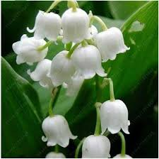of the valley flower 100 pcs bag of the valley flower seeds bell orchid seeds
