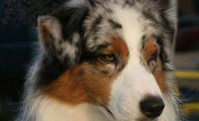 australian shepherd ear types what are button ears and which dog breeds have them