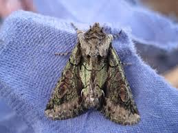 green brindled crescent allophyes oxyacanthae norfolk moths