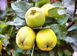 quince quince apples crop apples fruit wealth summer