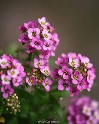 alyssum flowers pastel carpet sweet alyssum seeds flower seeds gardens and flowers