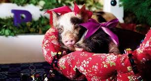 christmas pig pigs in a christmas mood