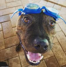 american pitbull terrier heat cycle sydney heatwave continues as temperatures hit 47c daily mail online