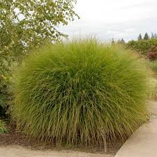 ornamental grass miscanthus sinensis gracillimus white flower farm