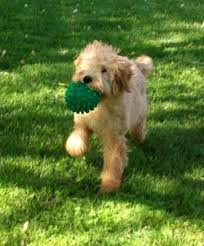 goldendoodle puppy treats 77 best dogs hypallergenic images on beautiful