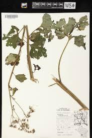 native plants wisconsin online virtual flora of wisconsin arnoglossum reniforme