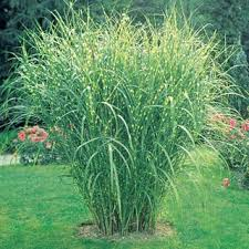 zebra ornamental grass impressive and looking growing 4 7