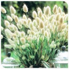 ornamental grasses seeds bunny tails lagurus ovatus bonsai