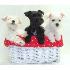 bedlington terrier san antonio texas t u0027s toy schnauzers miniature schnauzer breeder in san