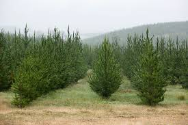 15 places to cut your own christmas tree in minnesota