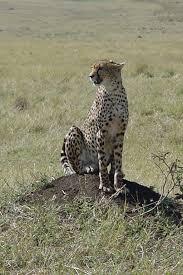 tanzanian cheetah wikipedia