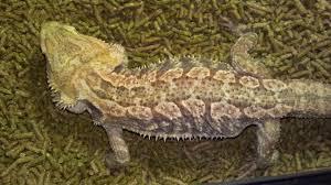 identifying morph u2022 bearded dragon org