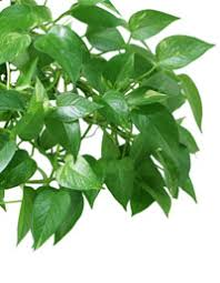 indoor vine plant 7 signs you re in love with common