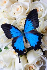 white and blue roses blue butterfly on white roses photograph by garry