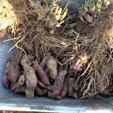 poire de terre cuisine salade fraîcheur de chou carottes et poires de terre jardin d essai