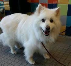 american eskimo dog houston kokoro the american eskimo dog via emwng com eskie