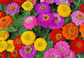 Zinnia Flowers How To Grow Zinnias Planet Natural