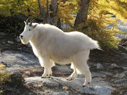 native mountain goats thriving in south cascades news