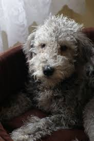 brushing a bedlington terrier the 74 best images about dog on pinterest italian greyhound pet