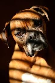 boxer dog in boxing gloves boxer dog