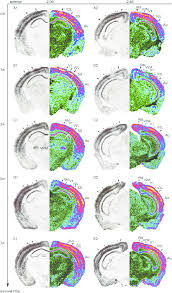 PDF Evidence for Cross Modal Plasticity in Adult Mouse Visual