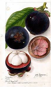 lychee fruit drawing 34 best mangostano mangosteen images on pinterest tropical