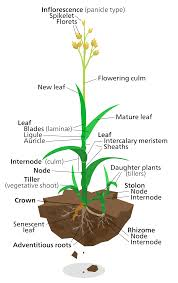 What Is Growth Movement Of A Plant Toward Light Called Lawn Wikipedia
