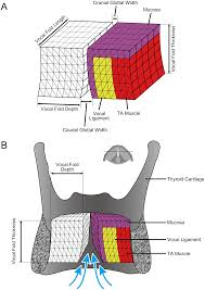 a cervid vocal fold model suggests greater glottal efficiency in